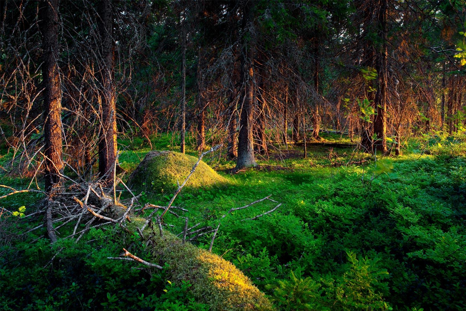 Auringonnousu metsässä